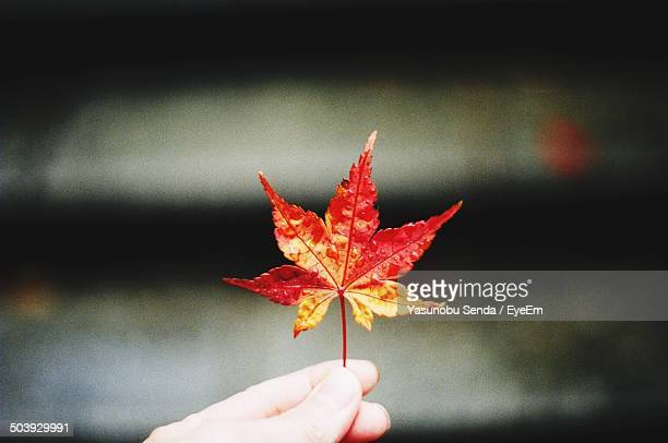 Close-up of a hand holding maple leaf against blurred background