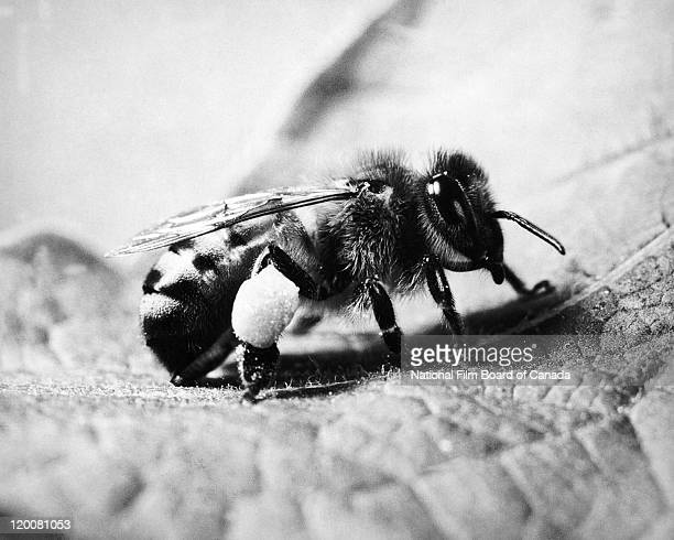 Closeup of a honey bee foraging for pollen in the process of crosspollination Canada 1957 Photo taken during the National Film Board of Canada's...