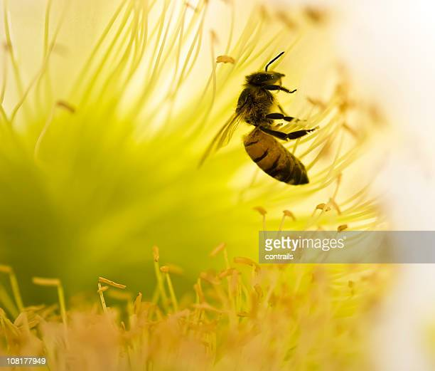 Close-up of a honeybee collecting pollen from a flower