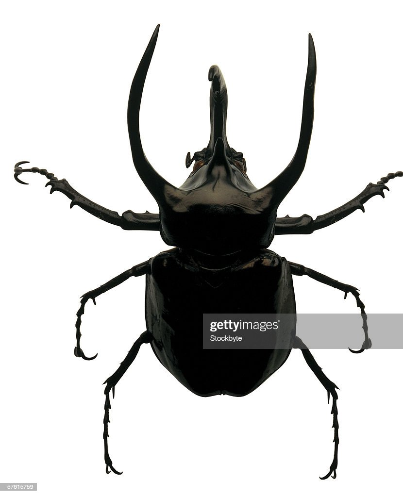 Close-up of a horned beetle : Stock Photo