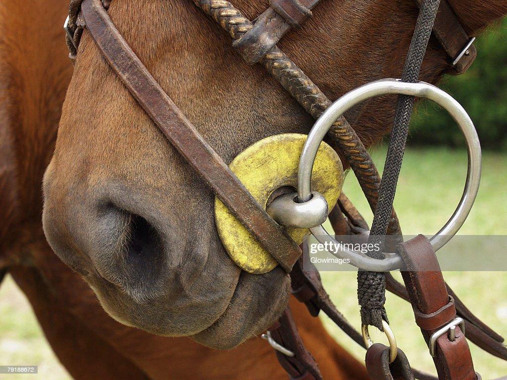 Close-up of a horse wearing a bridle : Foto de stock