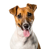 Close-up of a Jack russell terrier panting , isolated on white