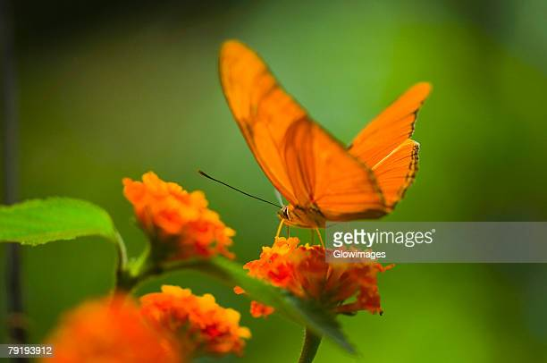 Close-up of a Julia butterfly (Dryas julia) pollinating a flower