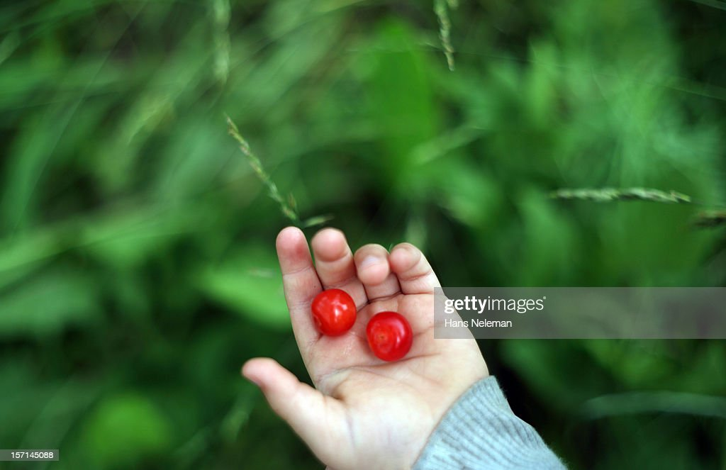 Close-up of a kid's hand holding two cherries : Stock Photo