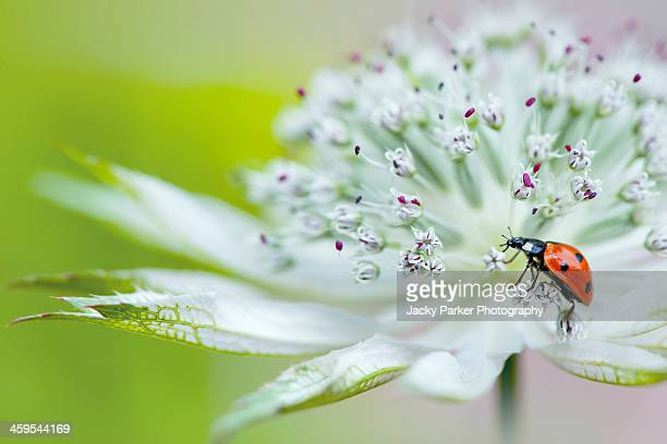 Close-up of a Ladybird on a white Astrantia flower