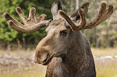 Closeup of a large male moose buck standing in tsunlight in the forest in Sweden