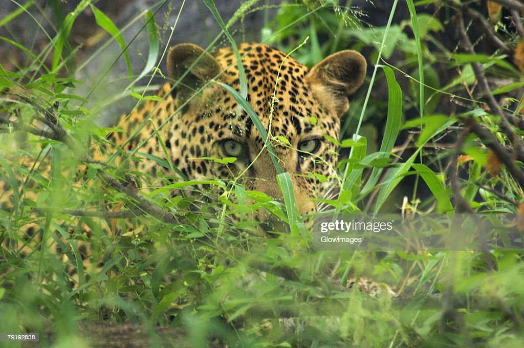 Close-up of a leopard (Panthera pardus) in a forest, Motswari Game Reserve, Timbavati Private Game Reserve, Kruger National Park, Limpopo, South Africa : Stock Photo