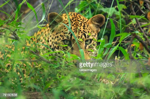Close-up of a leopard (Panthera pardus) in a forest, Motswari Game Reserve, Timbavati Private Game Reserve, Kruger National Park, Limpopo, South Africa : Foto de stock