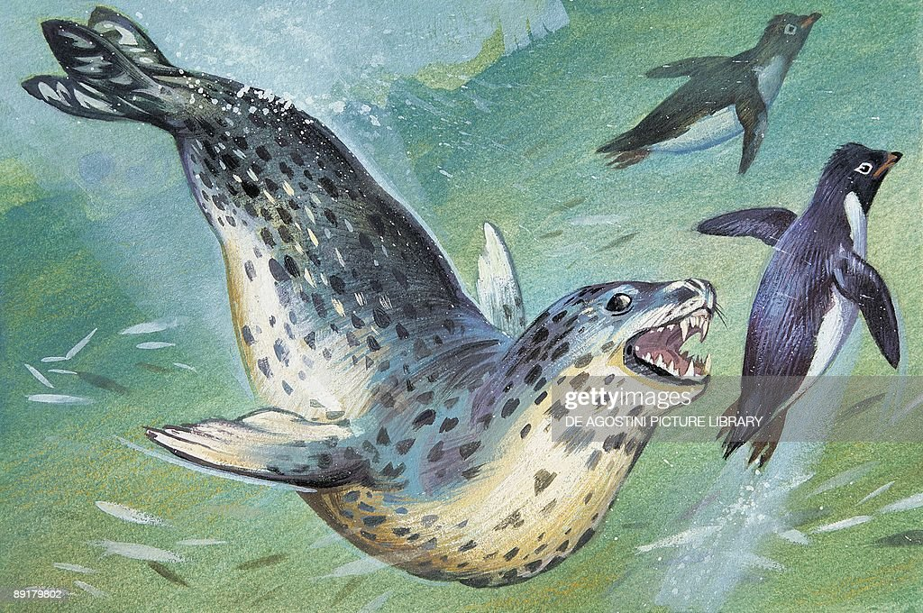 Close-up of a leopard Seal hunting a penguin