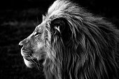A Close-up of a majestic Lion in Africa in Black and White