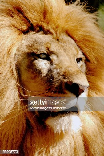 Close-up of a lion : Stock Photo