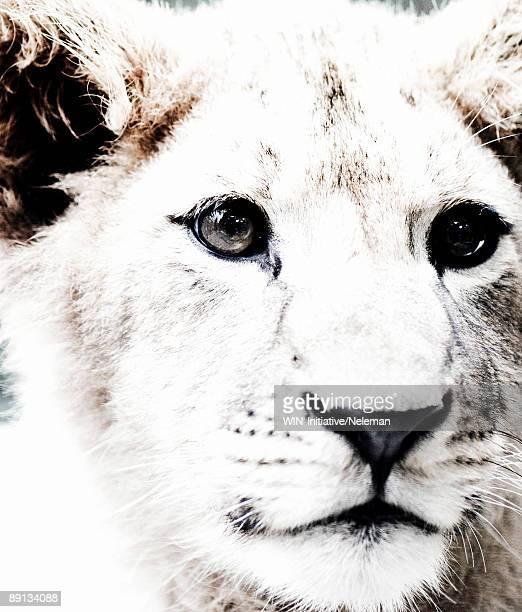 Close-up of a lion, Yalta, Crimea, Ukraine