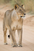 Close-up of a lioness in the Kalahari walking along a dirt sand road