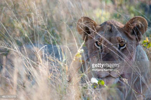 Closeup of a lioness stalking prey near the Vumbura Plains in the Okavango Delta in northern part of Botswana