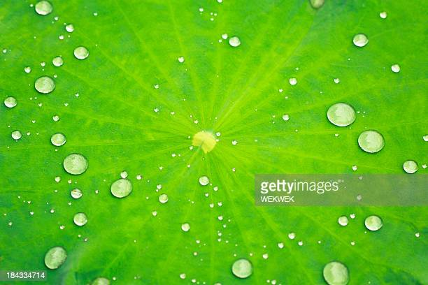 Close-up of a Lotus leaf with water drops