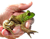 Close-up of a White Male Holding a Young Bullfrog Isolated on White