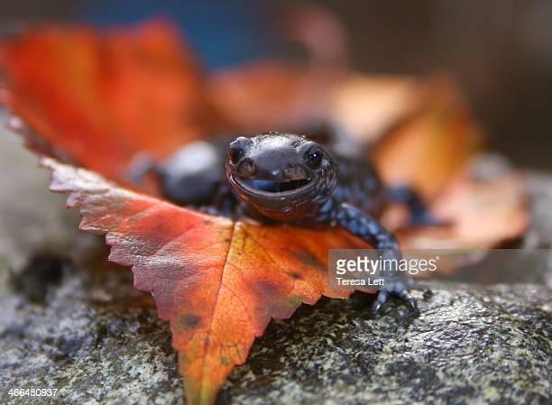 Closeup of a marbled salamander