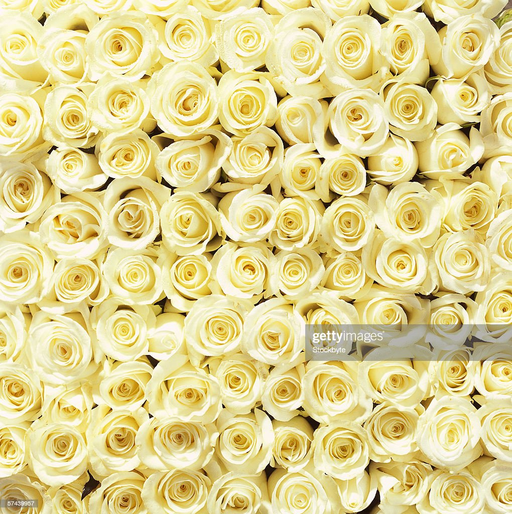 close-up of a mass of white roses : Stock Photo