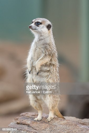 Close-Up Of A Meerkat On Rock