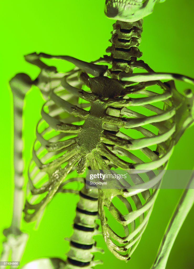 close-up of a model of a human skeletal structure of the chest