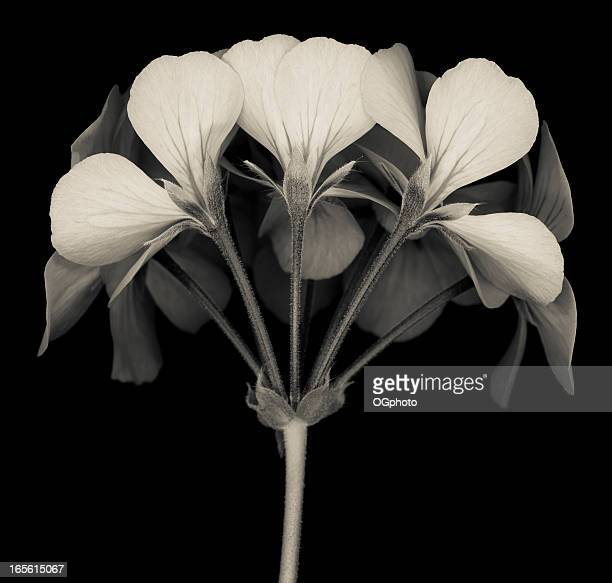 A closeup of a monochrome colored geranium flower