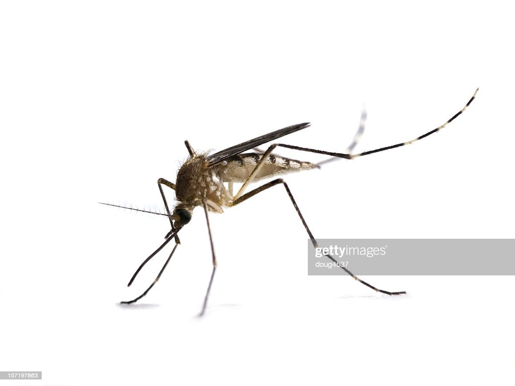 A close-up of a mosquito on a white background