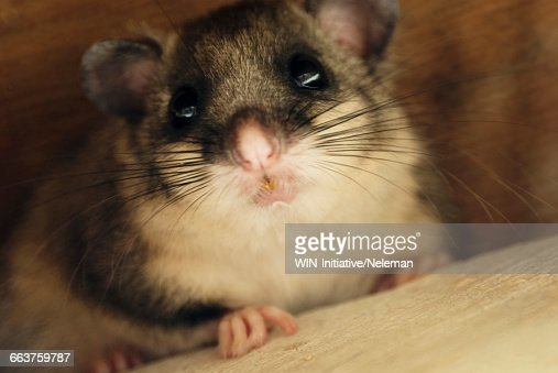 Close-up of a mouse