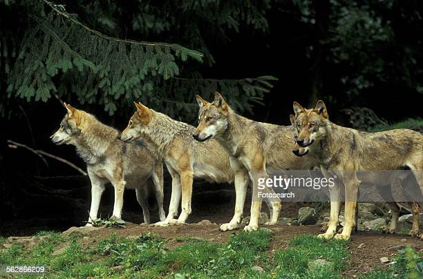 Close-up of a pack of wolfs