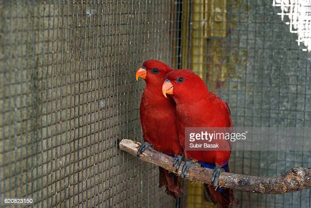 Close-Up Of a pair of Red Lorikeets In Cage.
