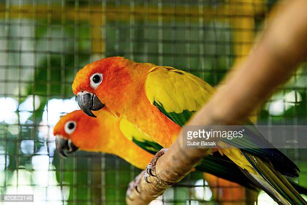 Close-Up Of a pair of Sun Conure parrots Perching On Branch In Birdcage.