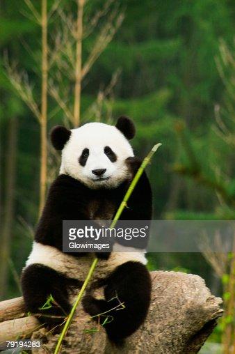 Close-up of a panda (Alluropoda melanoleuca) holding a stick
