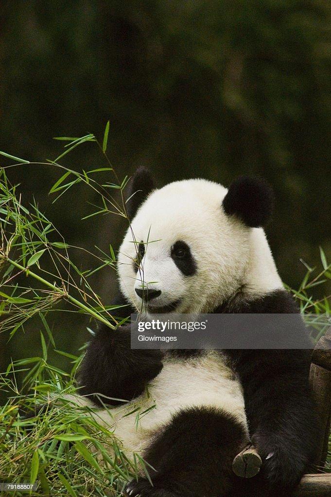 Close-up of a panda (Alluropoda melanoleuca) holding bamboo plant : Foto de stock