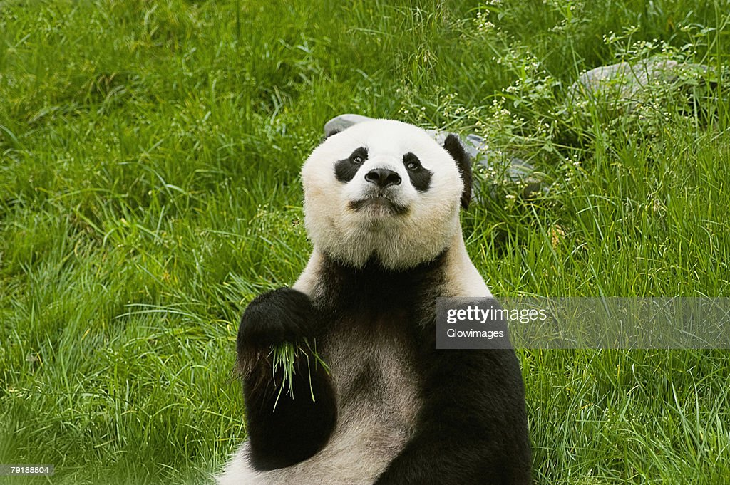 Close-up of a panda (Alluropoda melanoleuca) : Stock Photo