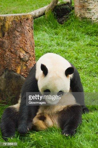Close-up of a panda (Alluropoda melanoleuca) sitting in a field : Foto de stock