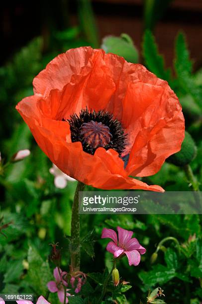 Closeup Of A Papaver Oriental Poppy Flower