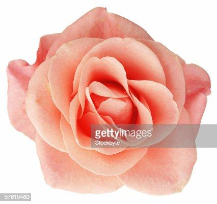 close-up of a peach rose : Stock Photo