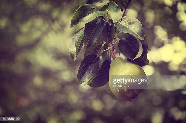 Close-up of a pear on a tree, Spain
