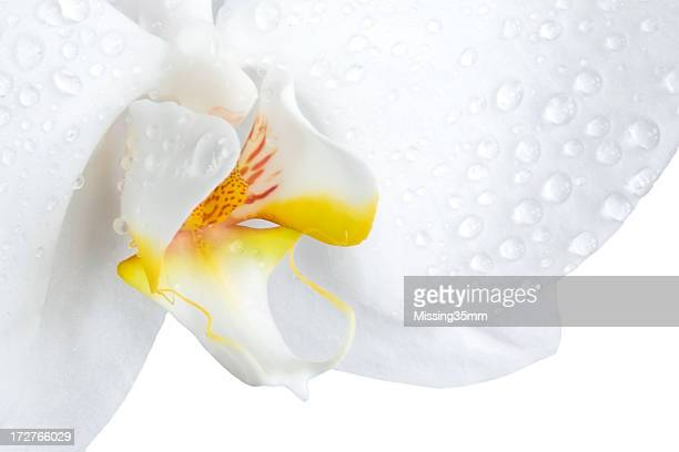 Closeup of a phalaenopsis orchid isolated on white