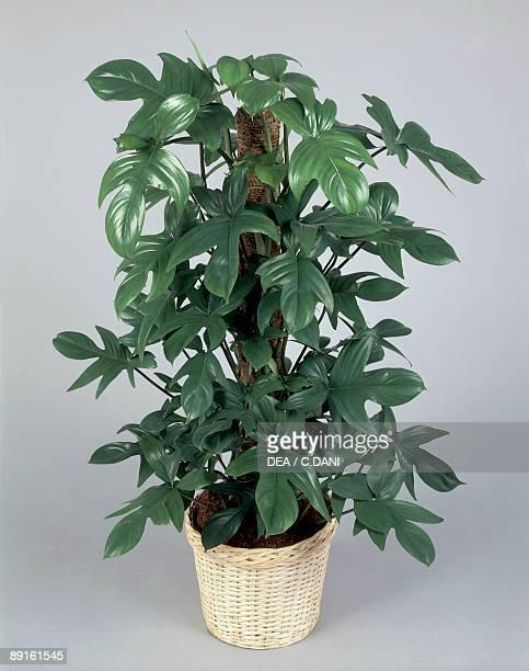 Closeup of a Philodendron Xanadu