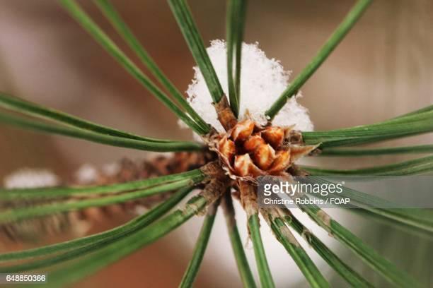 Close-up of a pine cone