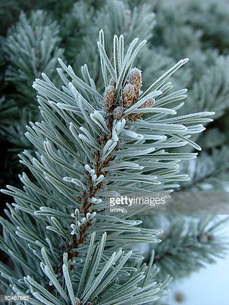 Close-up of a pine tree branch covered with frost