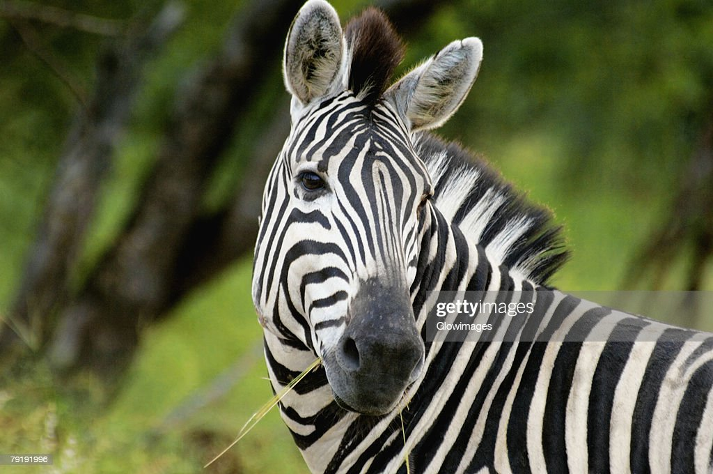 Close-up of a Plains zebra (Equus burchellii) in a forest, Kruger National Park, Mpumalanga Province, South Africa : Stock Photo
