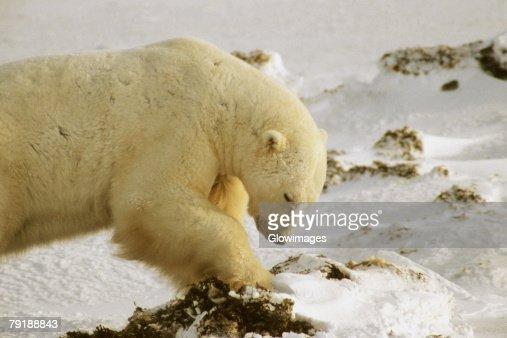 Close-up of a Polar bear (Ursus Maritimus) digging for seaweed : Stock Photo