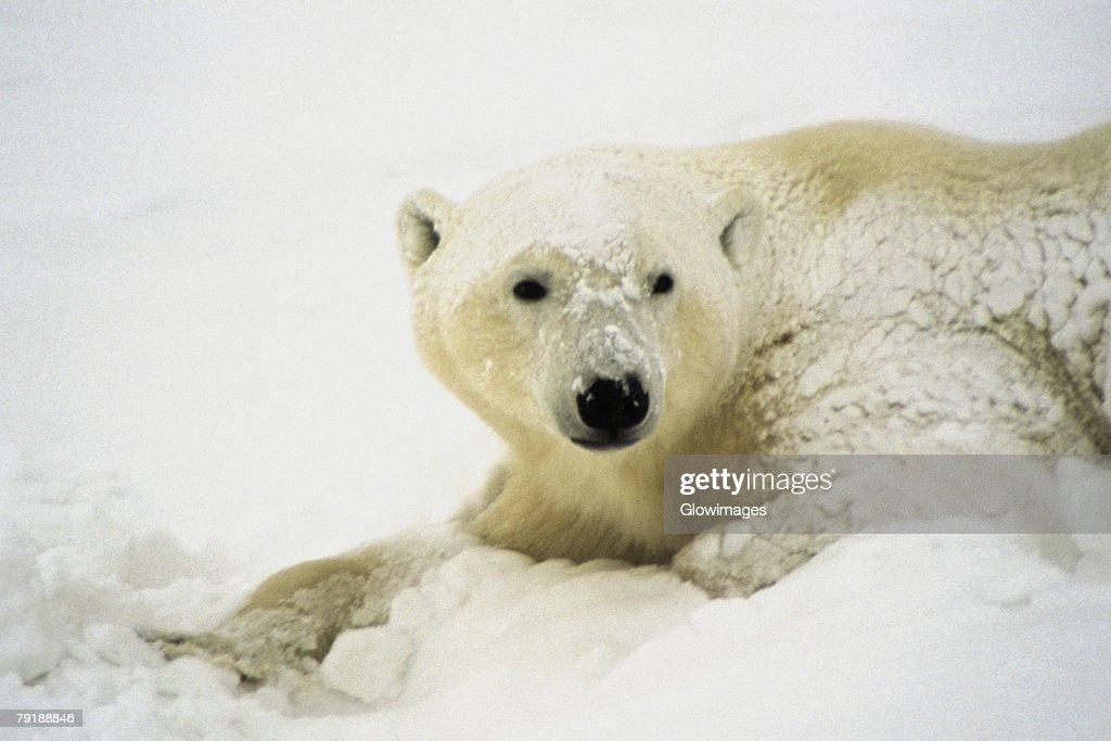 Close-up of a Polar bear (Ursus Maritimus) : Foto de stock
