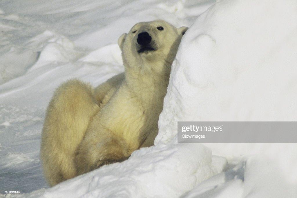 Close-up of a Polar bear (Ursus Maritimus) sitting on snow : Foto de stock
