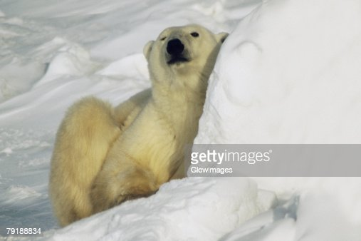 Close-up of a Polar bear (Ursus Maritimus) sitting on snow : Foto de stock