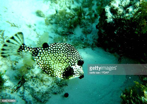Close-up of a puffer fish swimming underwater