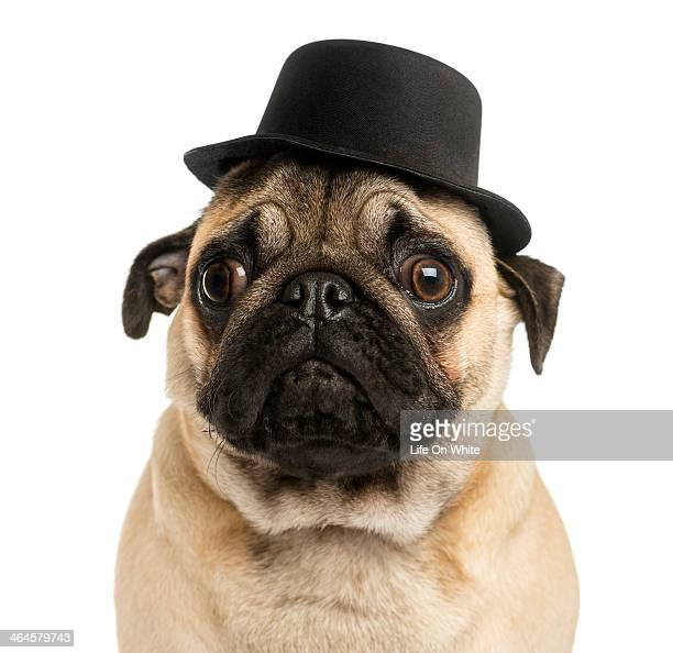 Close-up of a Pug puppy wearing a top hat