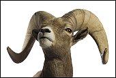 Close-up of a ram