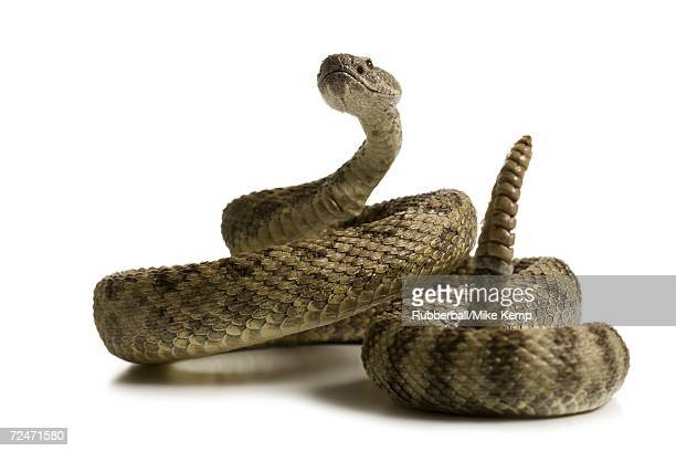 Close-up of a rattlesnake